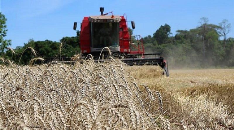 A colheita do trigo está quase concluída no Rio Grande do Sul
